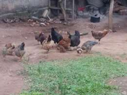 Local breed chickens on sale