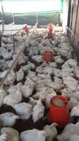 Large 2Kg Broiler Chickens for sale in bulk for R39 each FREE delivery