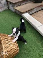 KUSA Registered Boston Terrier puppies for sale