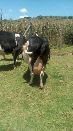 Dairy cow on quick sale Kapsoya - image 5