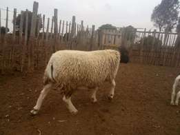 Best Sheep Breed