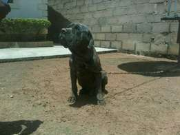 Adult (female) Neopolitant mastiff dog for sale