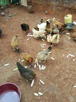 Mature mixed kroiler and Kienyenji poultry. If interested call