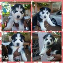 Cute huskie pups for sale ready to go in 2weeks