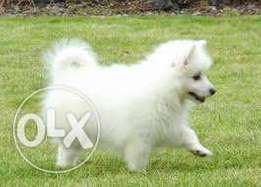 3 months old German spitz 7000 only