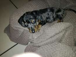 Dapple Dachshund for sale