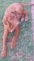 Rhodesian Ridgeback puppies for sale Kimberley!
