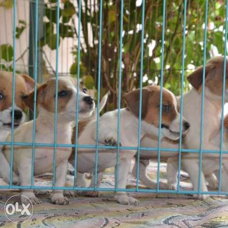 Jack Russell Children with excellent breed data