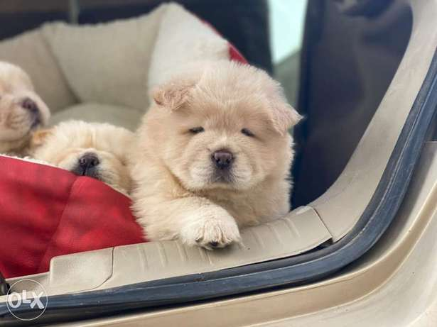 chow Chow Puppies Imported parents male and female 50 Days