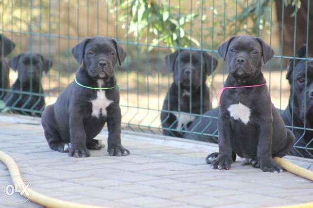 Imported cane corso puppies with pedigree
