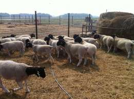 young Dopers and Merinos Sheep's Available For Sale