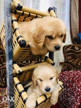 Golden retriver puppies