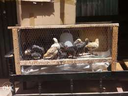 Chicks for selling ,3weeks old at ksh180