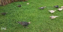 Selling young turkeys