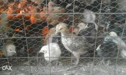 3 wk rainbow rooster chicks