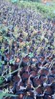 Grafted hass trees