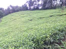 LAND ON SALE with tea plantation 1.5 acres