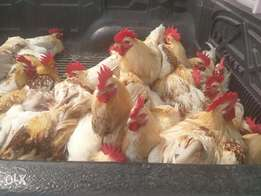 Xmas Live Chicken For Sale