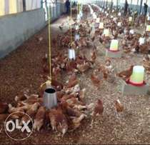 Points of Lay Birds for sale in kaduna