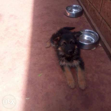 Gsd for sale Ngong - image 1