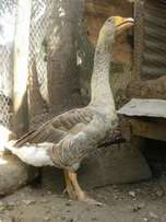 Fully Matured male n female geese for sale price is for both two