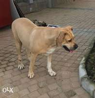 Affordable 2 year old female boerboel for sale