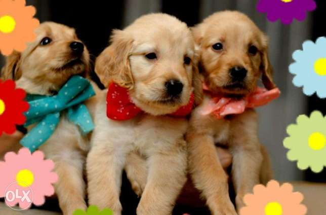 Golden retriever Puppies Males & Females Fully vaccinated جراوى جولدن