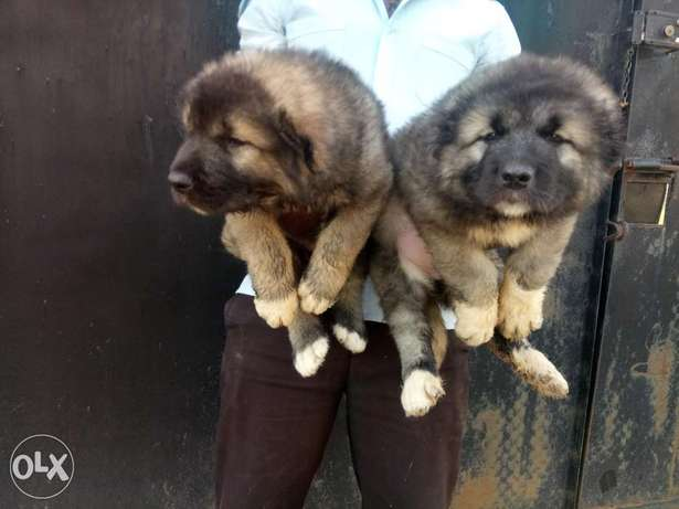 Pedigree Caucasian puppies available for sale Jos North - image 4