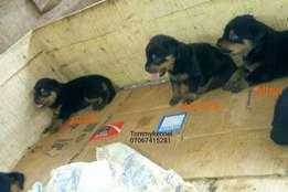 Very aggressive and temperamental pedigree rottweiler puppies for sale