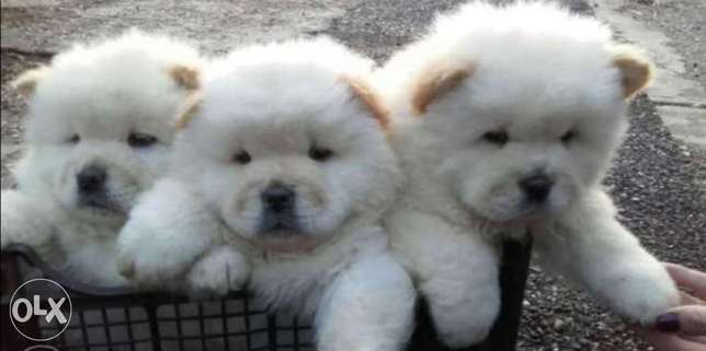 White chowchow puppies.. TOP QUALITY