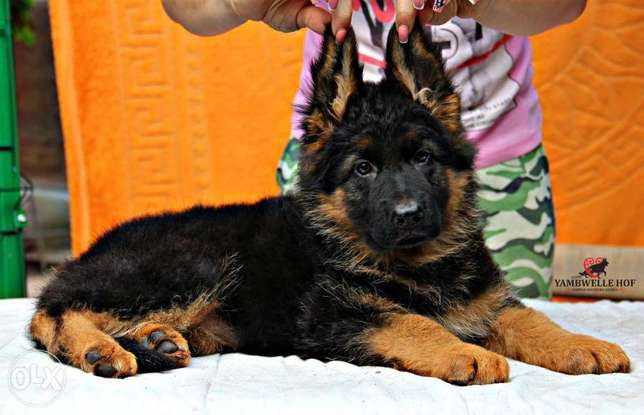 Super Quality German Shepherd Imported From Best Kennels