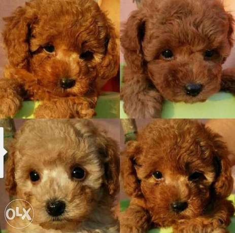 Imported toy poodle puppies with all documents.. Males and females