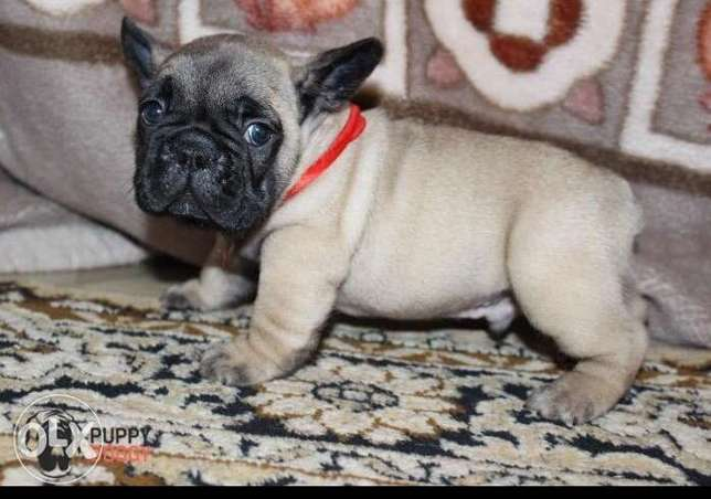 French bulldog puppies from Ukraine top quality Imported