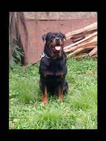 Female adult Rottweiler at a give away price