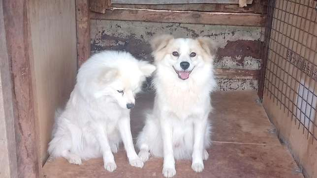 1 year old male Japanese spitz looking for a home Lower Kabete - image 2