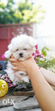 Imported Mini Maltese available Now From Ukraine