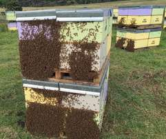 HONEY BEE HIVES - Commercial Orders for Summer/Autumn