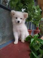 Pure Japanese Spitz puppies and Maltese puppies