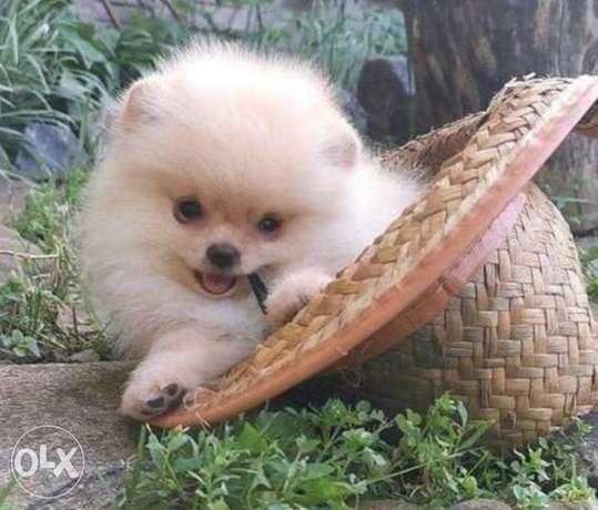 Mini pomeranian puppies from best kennels in Europe with Microchip