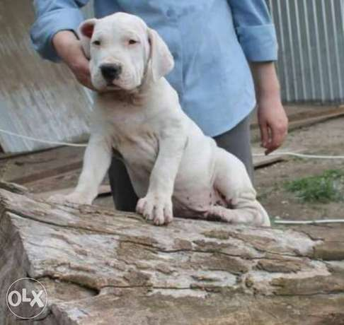 Reserve ur imported Dogo argentino puppy with all dcs