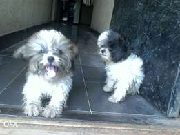 Lhasa apso puppies are available for sales