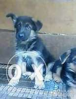 pure gsd puppies for sale