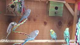 Budgerigars for sale.