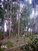 Blue gum trees for sale