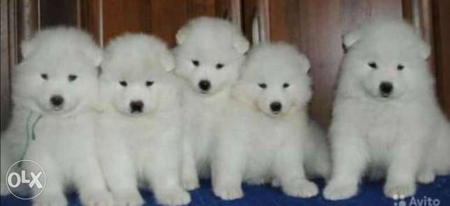 Samoyed puppies, imported with all dcs