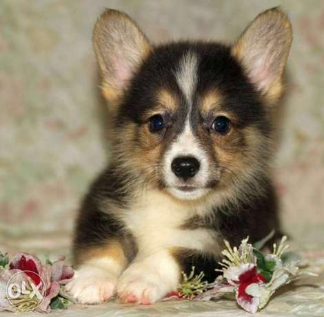 Corgi puppies, imported with all documents.. Top quality