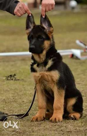 German Shepherd Champion Blooldine