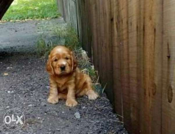 Imported Cocker spaniel puppies with Pedigree
