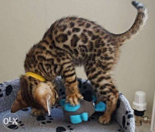 Beautiful Bengal kittens for sale adoption