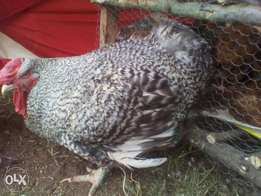 Organic Kienyeji chicken from Laikipia and Nyandarua